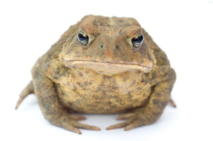 HUMBLE TOADS   ... humble toad: the subject of one of my favourite poems about work and