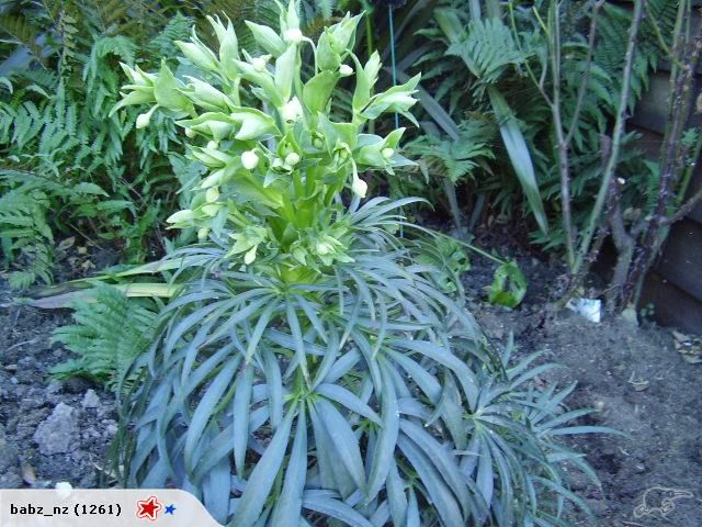 Helleborus foetidus A real Winter beauty | Trade Me