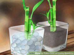 Care and feeding of lucky bamboo inside plant .                                                                                                                                                      More