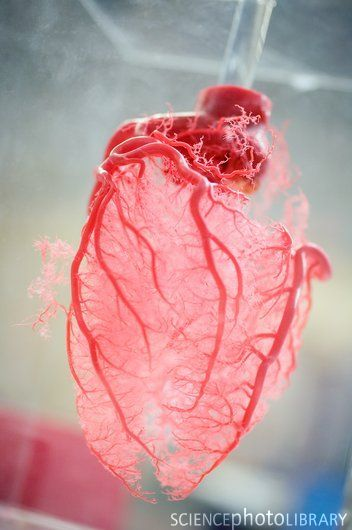 Resin cast of heart.