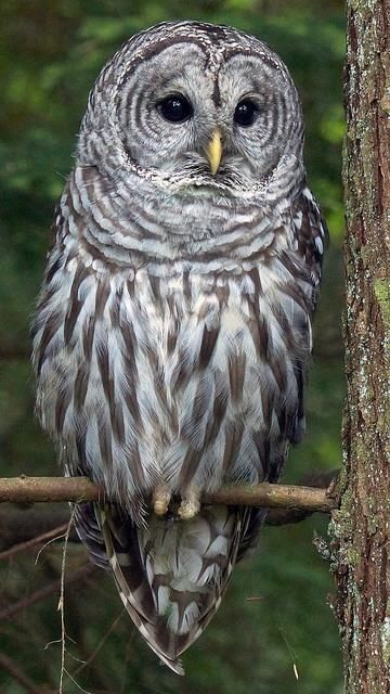 Barred owl - a beautiful owl with a very loud hoooot, hooooot, hoooot - we could hear them every night at our house in Temple Terrace, Fl. They are a large owl.