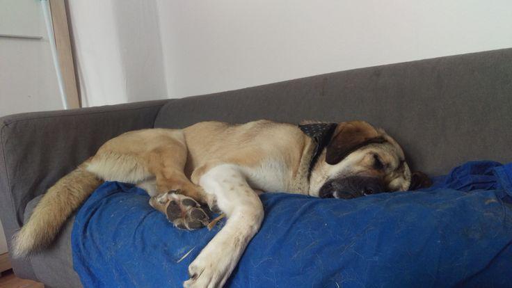 Maya Anatolischer Hirtenhund   Pawshake Solingen
