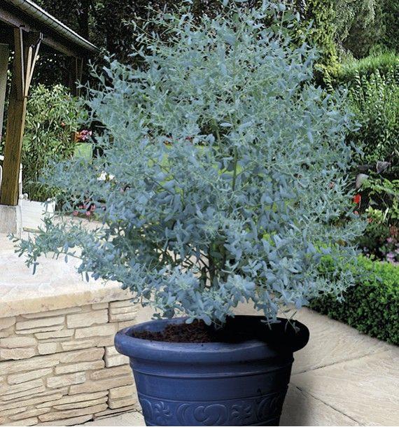 Eucalyptus Gunnii France Bleu 174 Rengun Plante En Ligne