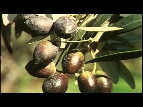 Βιολογική καλλιέργεια αμπελιού - YouTube