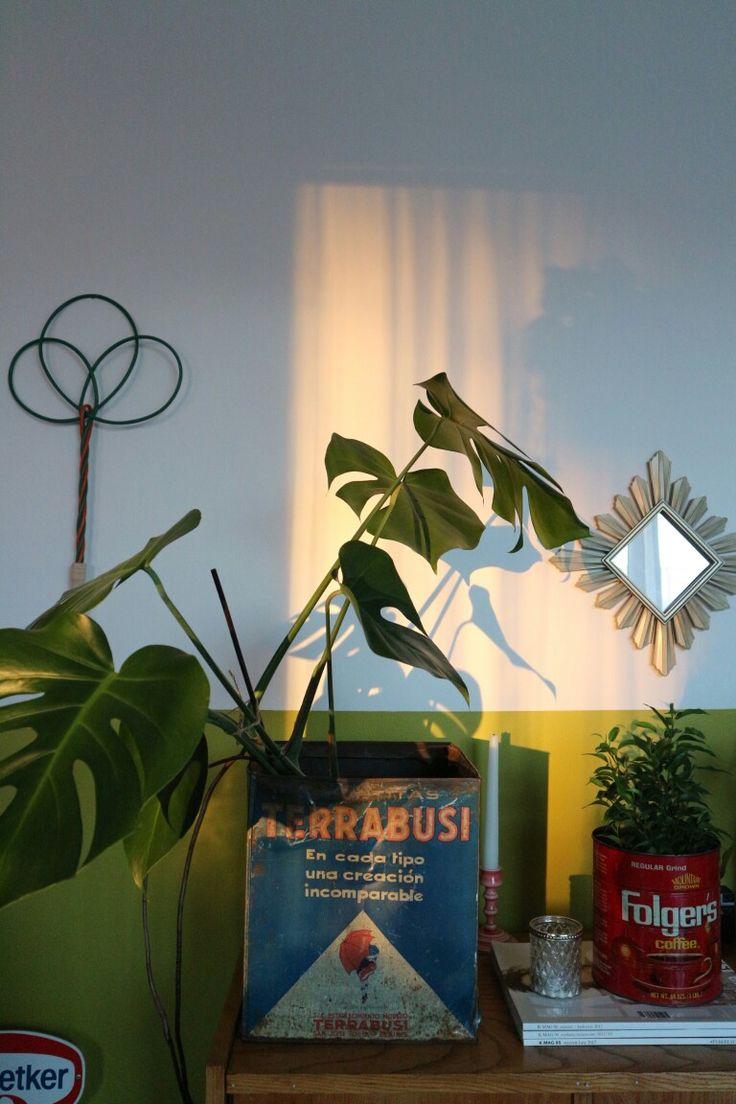 Monstera deliciosa in my sunny livingroom