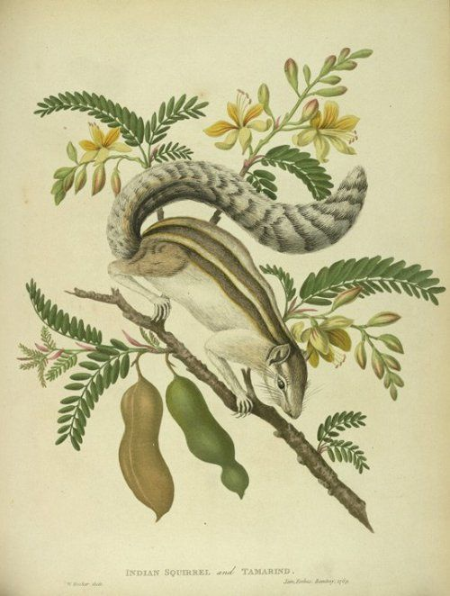 "Indian Squirrel and Tamarind, plate 61 from the second volume of James Forbes' ""Oriental Memoirs"", 1813.  BL Prints & Drawings‏"