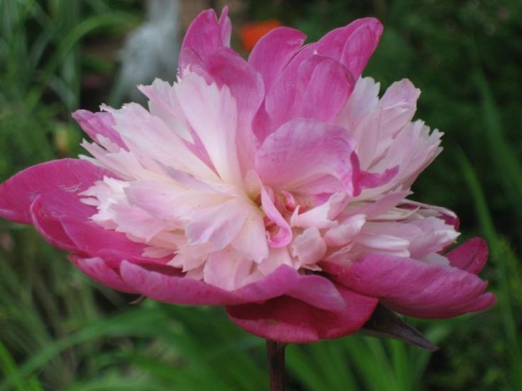 Peonies, Bare Root 3-5 eyes GAY PAREE PEONY, plants for sale, Peony Farm, WA