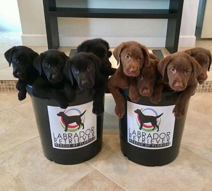 Lrrof Puppies Cute Puppies Labrador Retriever