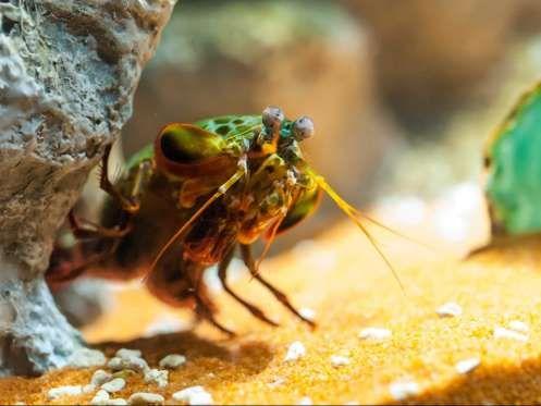 Um camarão mantis pode sacudir sua garra tão rápido que ferve a água em torno dele e cria um flash de luz