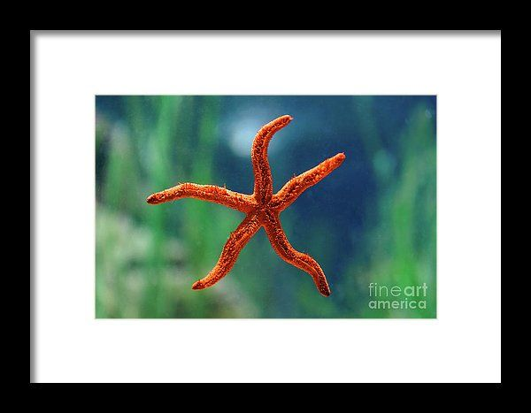 Red Starfish Macro In Aquarium Framed Print