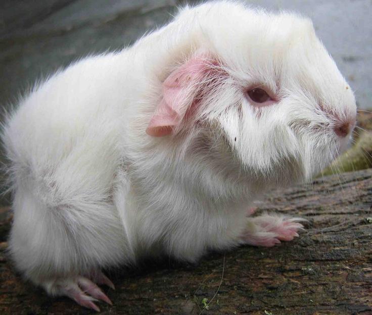 albino Guinea PigAnimals Parts, Cutie Patootie, Albino Beautiful, Beautiful Abigail, Pigs, Albinos People'S Animals Etc, Animal White, Albino Guinea, Albino Animal