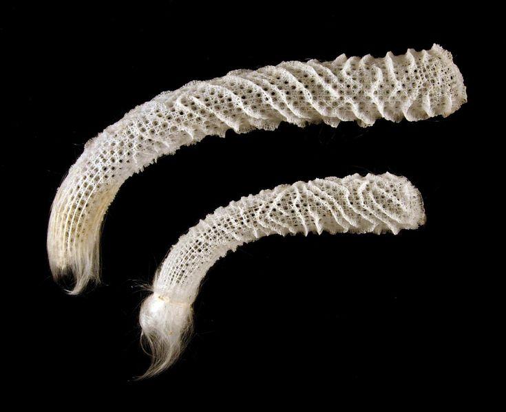 The Two Euplectella Specimens From The Philippines Are Glass Sponges Porifera Hexactinellida