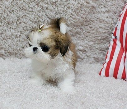 Quality Teacup Shih Tzu Puppies For Sale Shihtzu Shih Tzu Puppy Shih Tzu Puppies