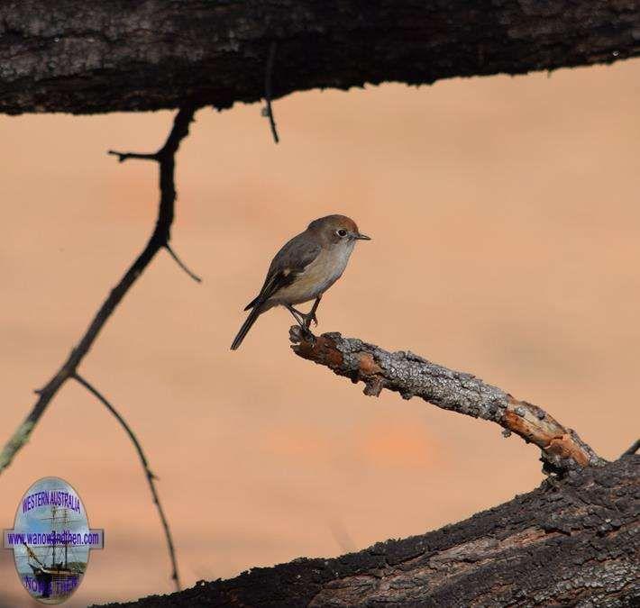 Red capped robin female - BIRDS OF WESTERN AUSTRALIA | Western Australia | www.wanowandthen.com