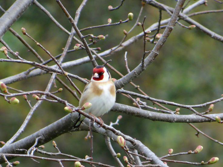 European Goldfinch in my backyard, October 2014