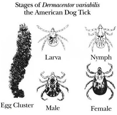 Life cycle of the American dog tick, Dermacentor variabilis (Say).