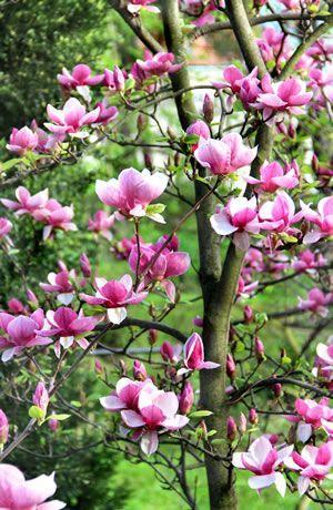best 25 magnolie pflanzen ideas on pinterest. Black Bedroom Furniture Sets. Home Design Ideas