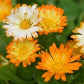 Ringblomma 'Oopsy Daisy' Låg. Blandning, från vitt till mörkt guldgult (med mörkare spetsar). Ätliga blommor. 29kr Impecta.
