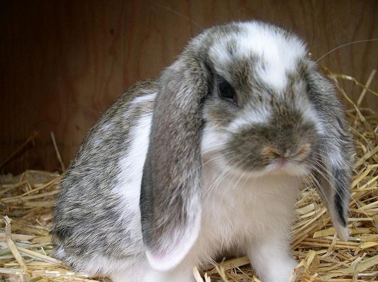 floppy eared rabbit Love rabbits! Pinterest
