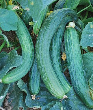 Cucumber, Suyo Long.Chinese variety of delicious, burpless cucumber: bright-tasting and crisp.