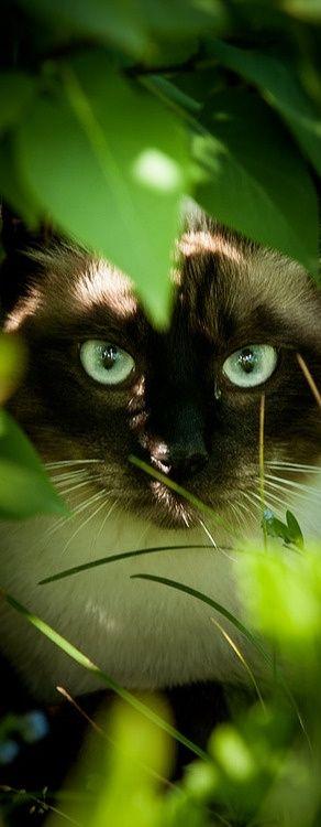 beautiful: Cats, Beautiful Cat, Animals, Kitty Kitty, Green Eyes, Chat, Siamese Cat, Feline