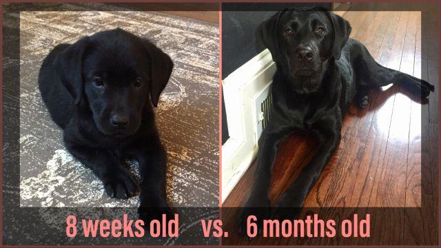 Black Labrador Growth Progression Black Labrador Labrador