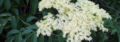 Going to make our first batch of Elderflower Cordial this month! Just waiting for the blooms to pop!