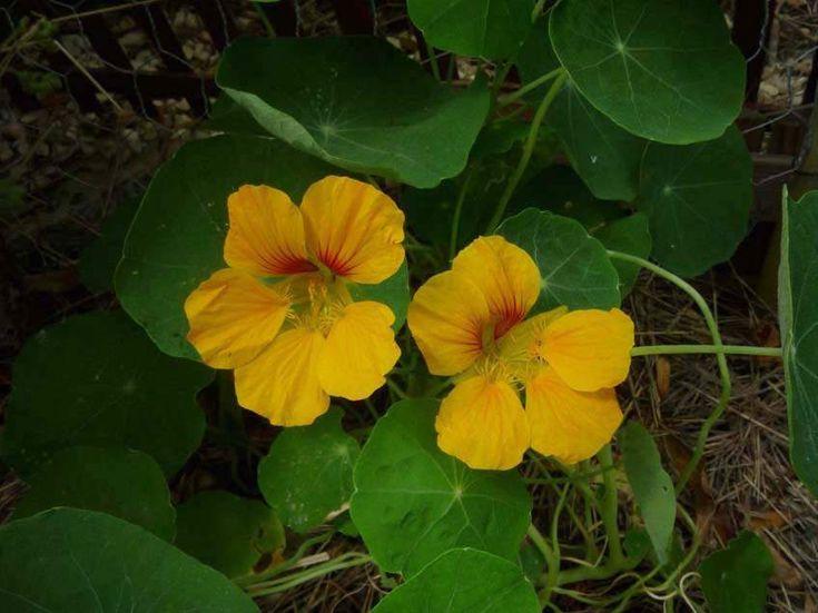 A 16. század óta az egyik legsokoldalúbb és legigénytelenebb gyógy- fűszer- és dísznövényünk az Amerikából származó kerti sarkantyúka. http://kertlap.hu/edd-idd-vesd-a-kerti-sarkantyukat/