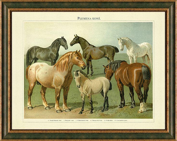 Obraz starých plemen koní na kresbě z konce 19. století - Neapolitánský kůň, Belgický kůň, Oldenburský kůň, Pincgavský kůň, Clydesdale, Gotlandský pony.