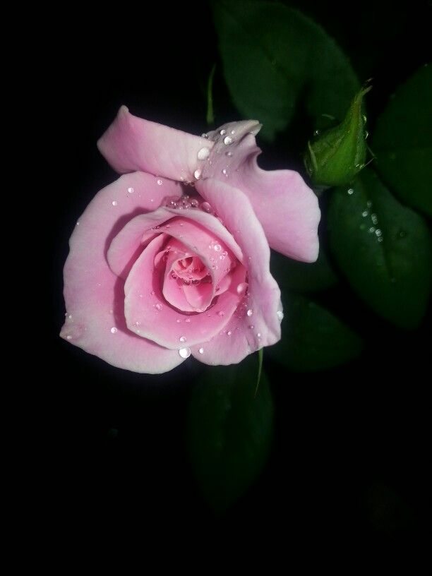 Raindrops on pink rose. By Caren