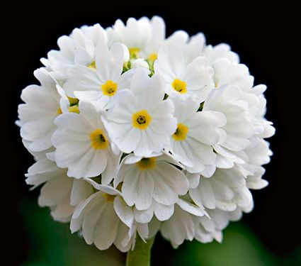 How pretty is this? Primula denticulata Alba  This is the lovely white form of P. denticulata. Flower heads are two-inch fragrant globes, a composite of small individual flowers. Perfect companion for dwarf Narcissus.