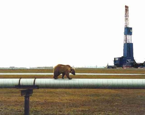 Alaska bear on pipeline (People were so worried that the pipeline would negatively impact the wildlife)