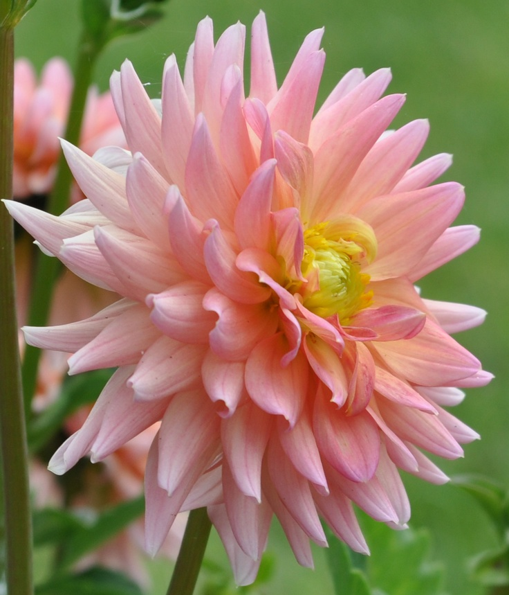 A delicate Dahlia.The Flower, Interesting Plants, Dahlias Dreams, Pink Things, Flores Blommor, Cut Gardens, Flowers, Delicate Dahlias