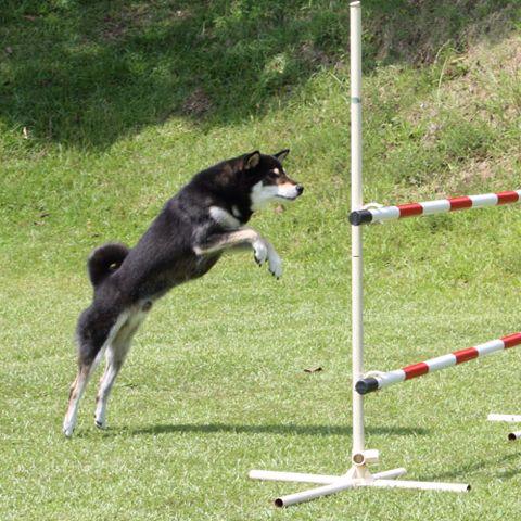 みか ジャンプの踏み切り、結構近い。  PetSmile