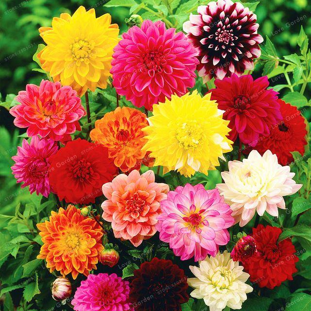 50 Sztuk Worek Dahlia Kwiat Dahlia Nasiona Urocze Bonsai Nasiona Kwiatow Nie Dalia Zarowki Wysoka Kielkowania Flower Seeds Flowers Perennials Growing Dahlias