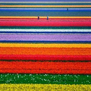 15 photos d'incroyables champs de tulipes colorés - http://www.2tout2rien.fr/15-photos-dincroyables-champs-de-tulipes-colores/