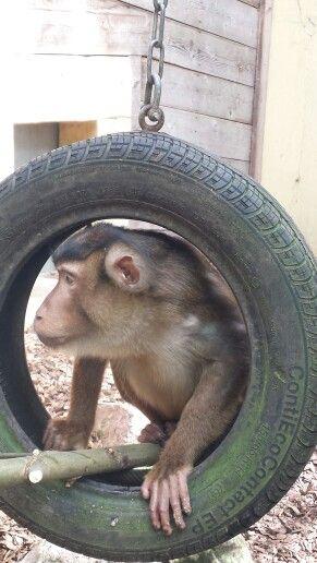 Laponder aap
