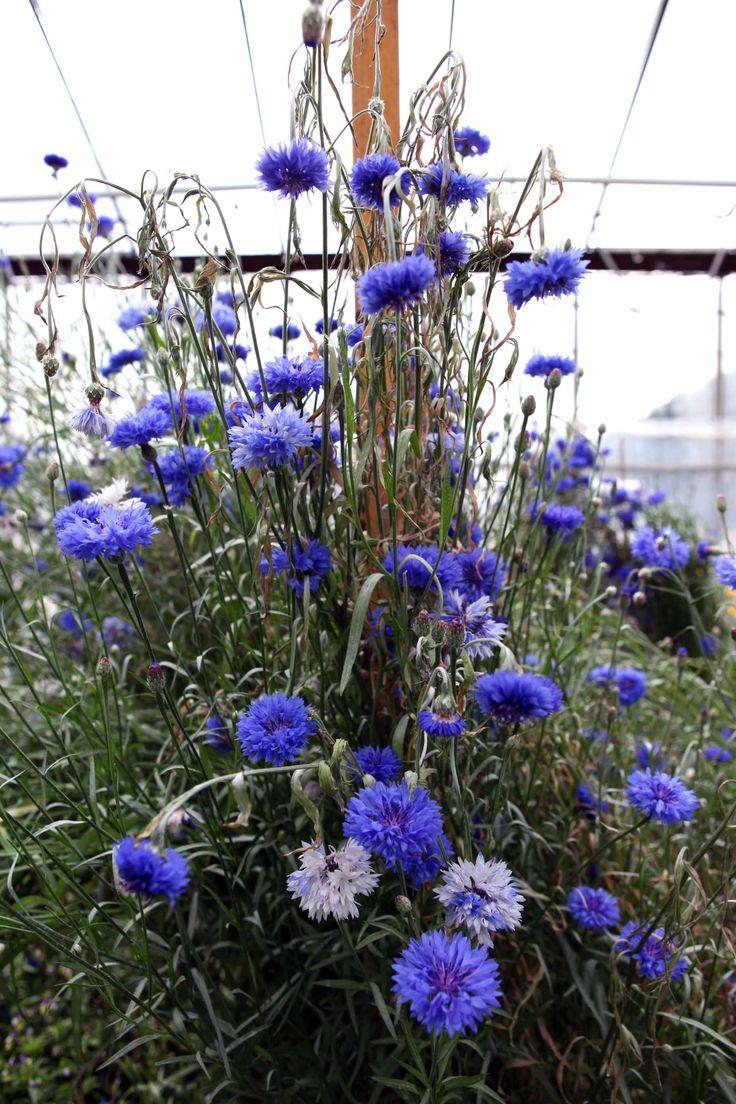 Eetbare bloemen Greendeliciousm knalblauwe korenbloem