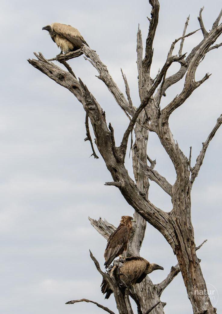 Während die Wildhunde fressen, versammeln sich die Geier und hoffen, dass für sie ein Stück Impala übrig bleibt.   Im Chobe Nationalpark (Botswana) kannst du bei einer Fotosafari sogar Wildhunde sehen.