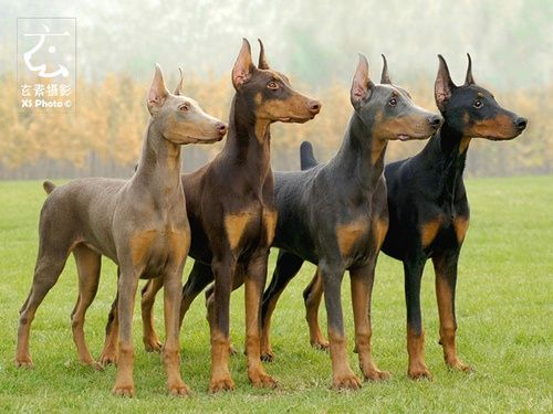 Doberman Pinschers, all the colors but albino, Rob wants a blue.
