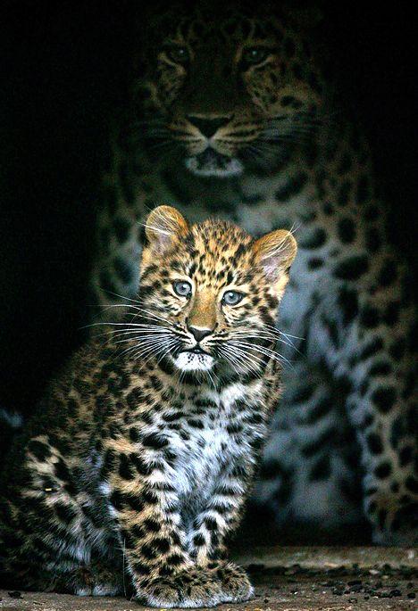 A gorgeous photograph of a Leopard Mummy & her inquisitive cub! | Léopard de l'amour originaire de Sibérie Est