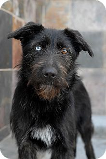 """""""irish wolfhound airedale terrier mix"""" - Google Search"""