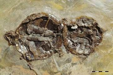 Fossil turtles have been caught having sex, the first known case of animals with backbones found copulating in the fossil record, researchers say.