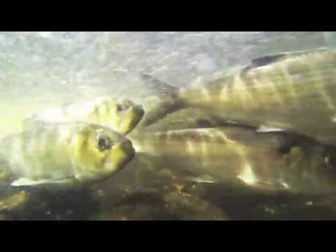 Presumpscot Alewife Migration Teaser (with music) - YouTube
