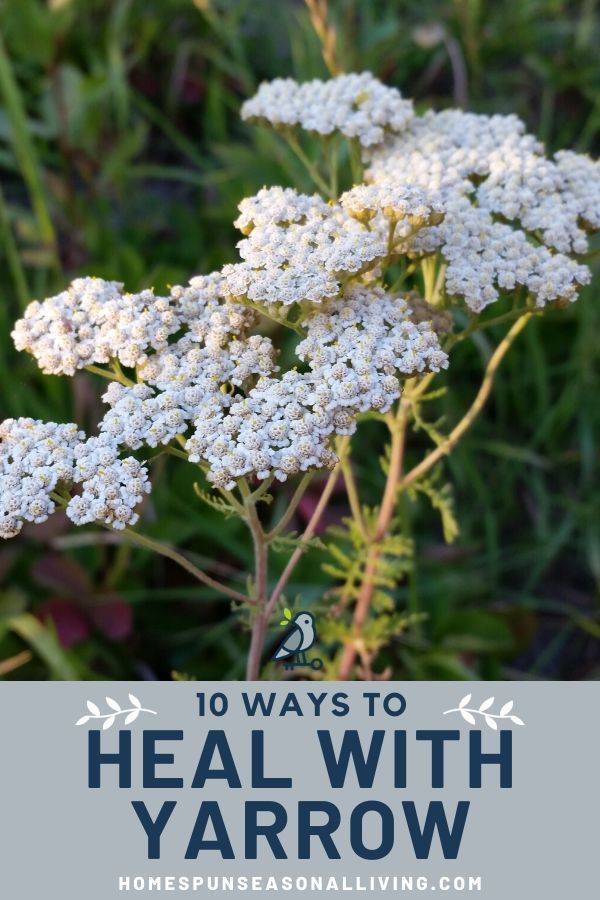 Uses Of Yarrow Herbs For Health Healing Herbs Magical Herbs