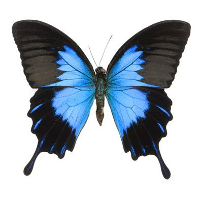 Blue Swallowtail Butterfly Tattoo