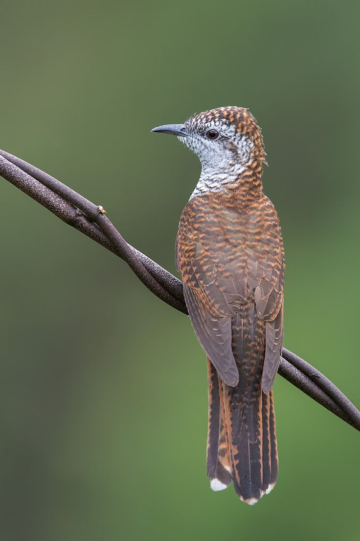 images about birds of the tropics i banded bay cuckoo cac tis sonneratii