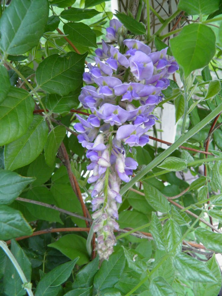18 best images about for planting wisteria on pinterest for The wisteria