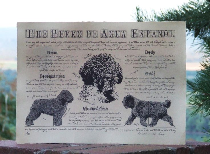 Antique styled dog standard - Perro de Agua Espanol by Creativedoglover on Etsy