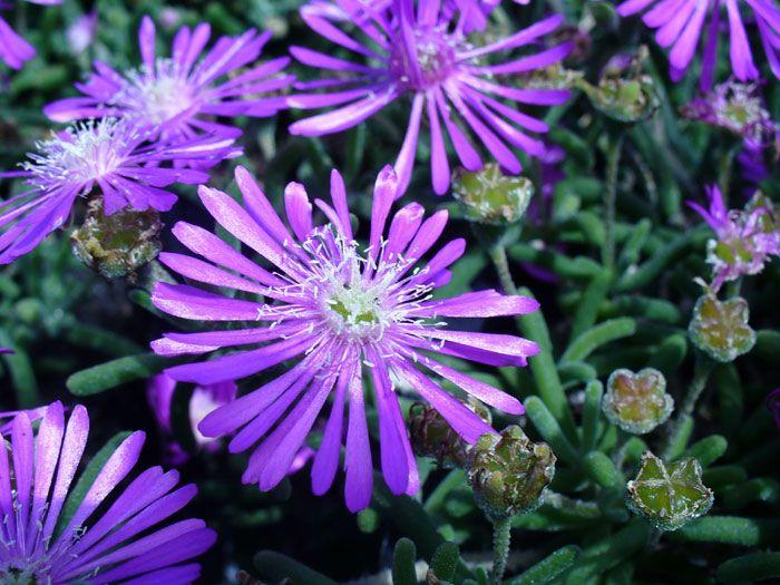 Delosperma D.cooperi Je to trvalka, ktoré sa rýchlo rozvetvuje a vytvorí nádherný koberec. Má mäsité listy a žlté kvety. Kvitne od júna do septembra a dobre sa cíti na slnečnom mieste. Pretože ide o sukulent, nepotrebuje veľa vody a vydrží bez ujmy aj dlhšie trvajúce sucho. Vysádza sa do suchšej a dobre priepustnej pôdy. Je však citlivá na mráz, preto ju treba prikryť vetvičkami z ihličnatých stromov. Rozmnožuje sa samovýsevom alebo vrcholovými odrezkami. Vysádzať sa môže aj na strešné…